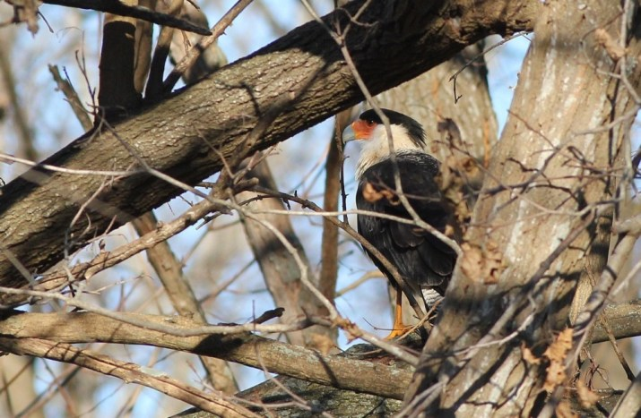 The caracara hunting low through forested backyards, like a Cooper's Hawk. (Photo by Alex Lamoreaux)