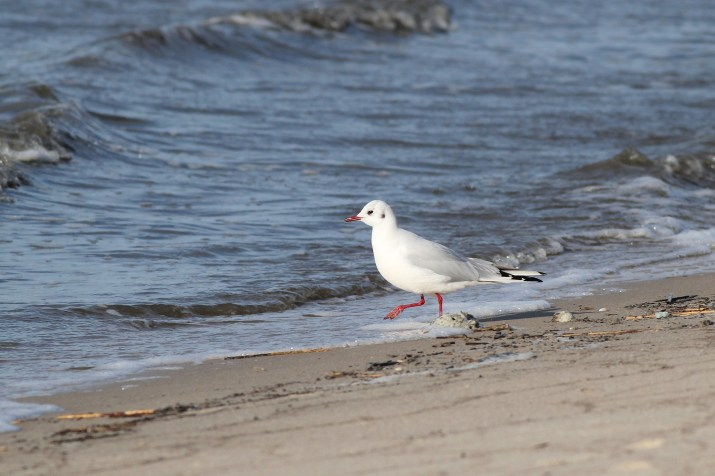 Black-headed Gull taking a walk down the beach, looking for food. (Photo by Alex Lamoreaux)