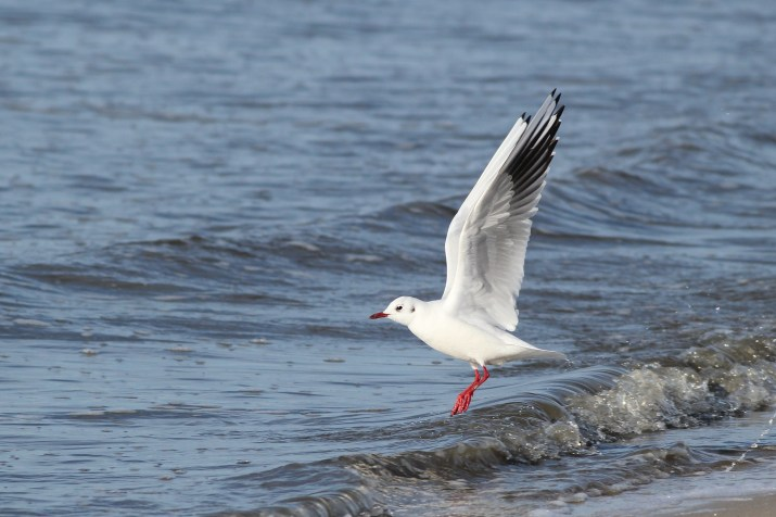 The Black-headed Gull stretching its wings. (Photo by Alex Lamoreaux)