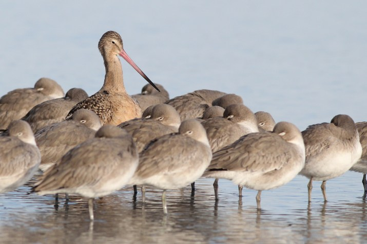 Marbled Godwit and 'Western' Willet - January in New Jersey (Photo by Alex Lamoreaux)