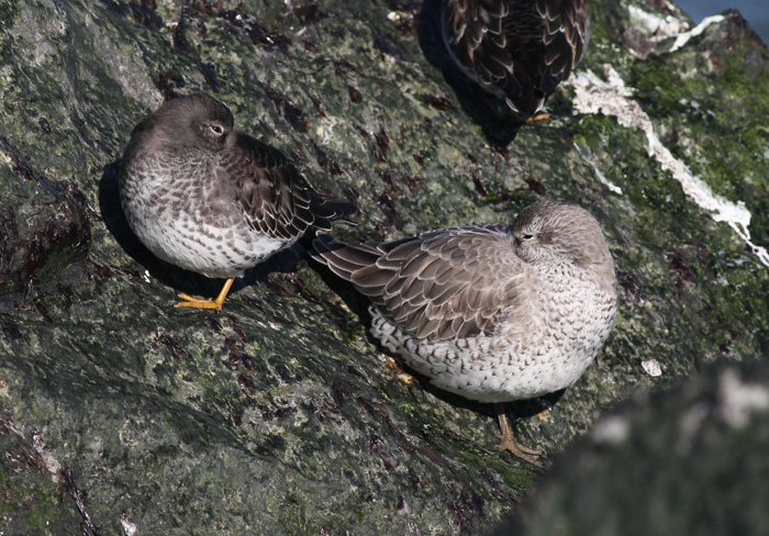 Purple Sandpiper and Red Knot