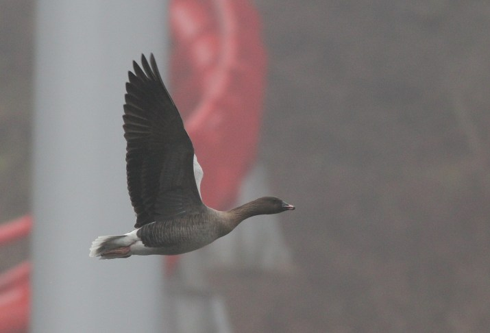 My lifer Pink-footed Goose at Dorney Pond in Allentown, PA (Photo by Alex Lamoreaux)