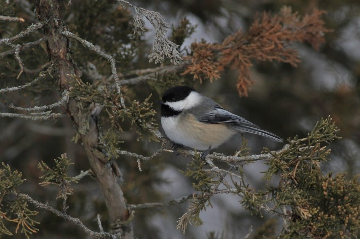 Black-capped Chickadee on Amherst Island. (Photo by Alex Lamoreaux)