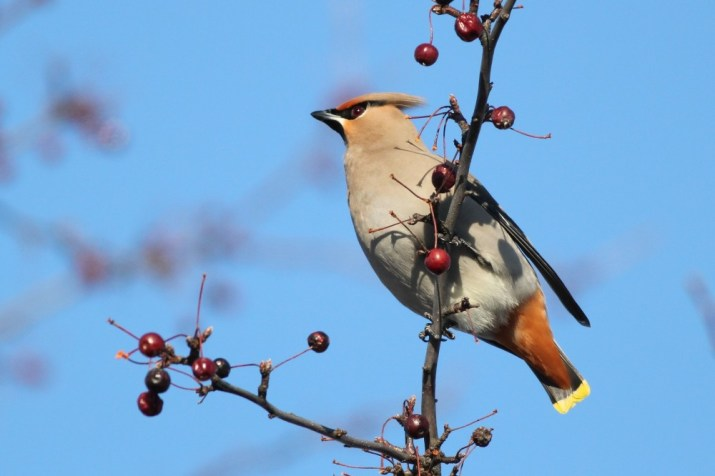 "People driving past started to notice the group of 21 birders staring at the trees along the road, and one man stopped to ask what we were looking at. We told him and he responded with ""What?....bulimian waxwings??"" (Photo by Alex Lamoreaux)"