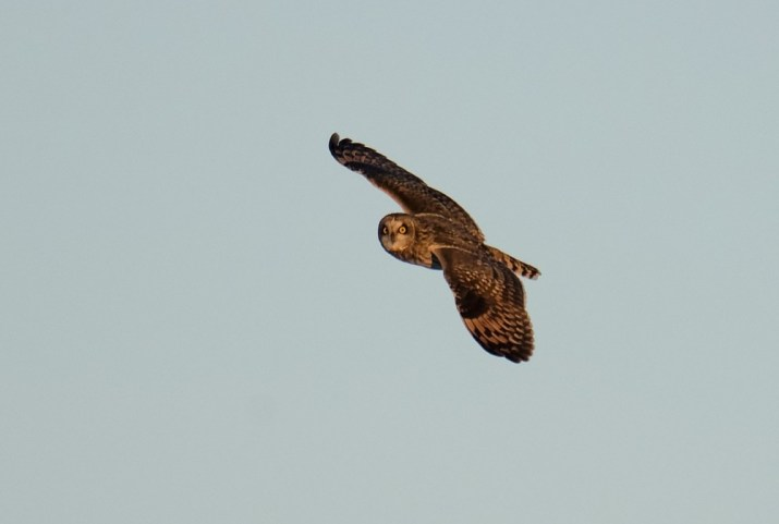 Short-eared Owl at Middle Creek WMA. (Photo by Bob Hench)
