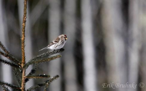 Common Redpoll (female)