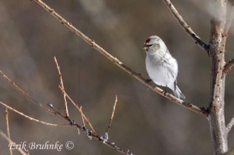 Hoary Redpoll (female)