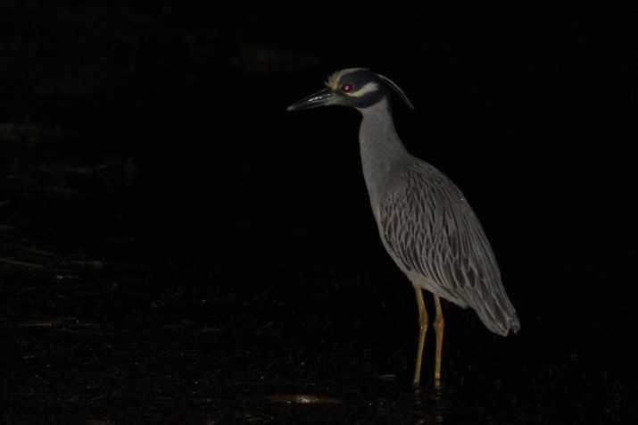 Yellow-crowned Night-Heron on Big Pine Key, Florida. (Photo by Alex Lamoreaux)