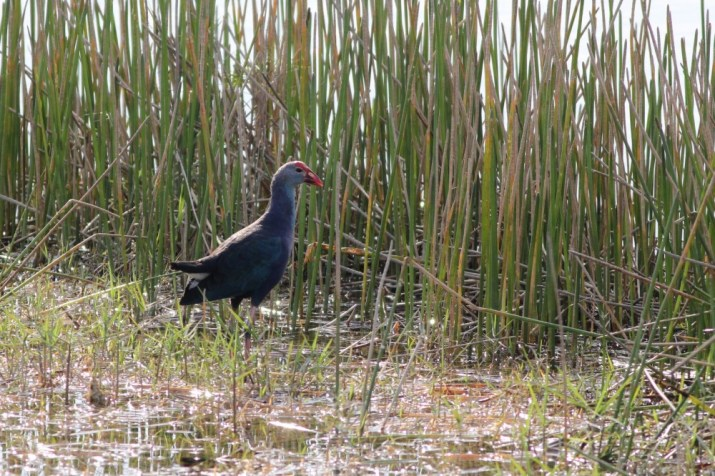 Another invasive, the Purple Swamphen is now considering officially countable by the ABA. There were hundreds inside STA 5, and those were just the ones we were able to see..... (Photo by Alex Lamoreaux)