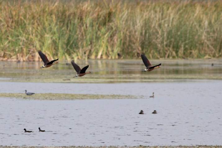 Three Fulvous Whistling-Ducks in flight. (Photo by Alex Lamoreaux)