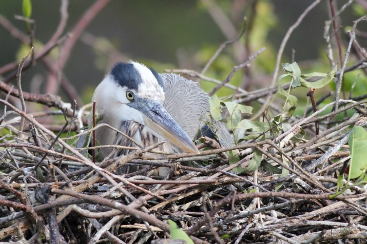 Great Blue Heron on its nest (Photo by Alex Lamoreaux)