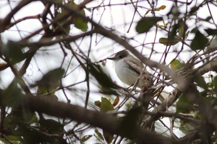 Our first looks at the La Sagra's - perched above us in the top of a dense tangle of branches. (Photo by Alex Lamoreaux)