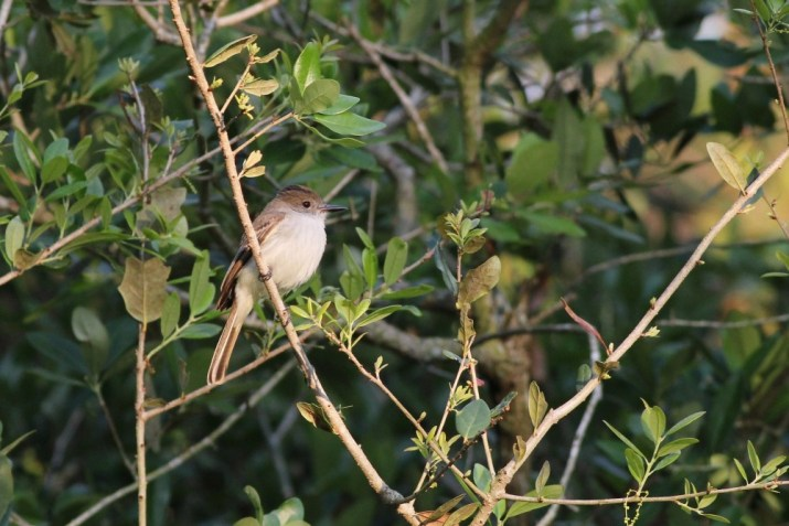 La Sagra's Flycatcher at Green Cay Nature Center (Photo by Alex Lamoreaux)