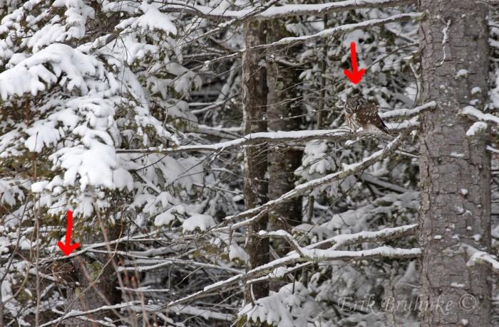 Northern Saw-whet Owl and Boreal Owl