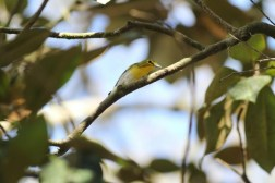 This Yellow-throated Vireo stayed in my yard for a few weeks in Florida