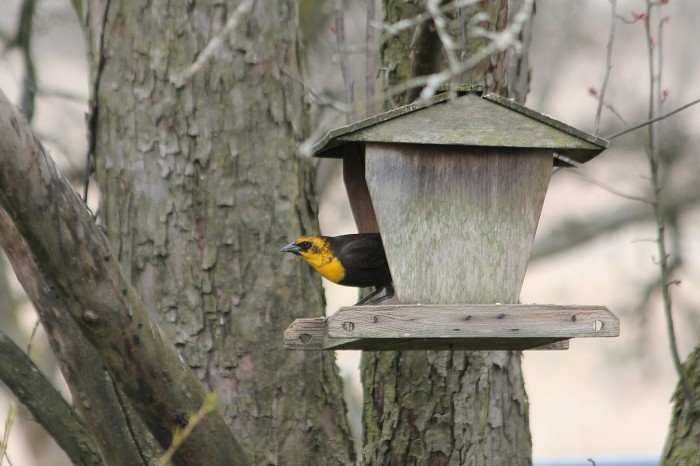 One of two Yellow-headed Blackbirds that have been visiting a backyard in Montour County, PA. (Photo by Amy Dopp)