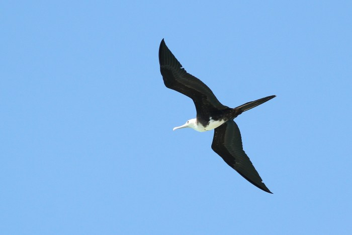 Immature Magnificent Frigatebirds, like this one, are similar to adult females but have a white head and more extensive white on their undersides. (Photo by Alex Lamoreaux)