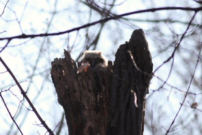 One of two small Great Horned Owl chicks peeking our of their snag-nest along Long Pond Trail. (Photo by Alex Lamoreaux)