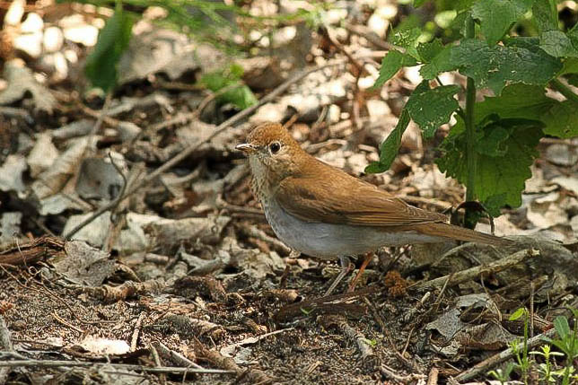 Veery - Magee Marsh, Ohio (Photo by Anna Fasoli)