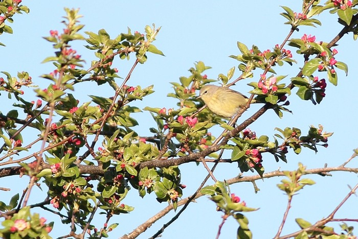 The Orange-crowned Warbler foraging in the crabapple when I first spotted it. (Photo by Alex Lamoreaux)