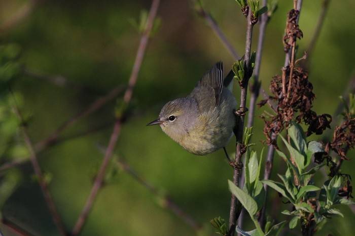 After the bird flew down into the brush, I was able to get some nicer photos. (Photo by Alex Lamoreaux)