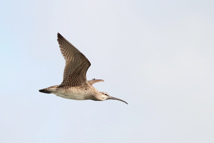 Whimbrel, like this short-billed male, use the Eastern Shore of Virginia as a stopover location during their migration from South American to the Arctic. (Photo by Alex Lamoreaux)