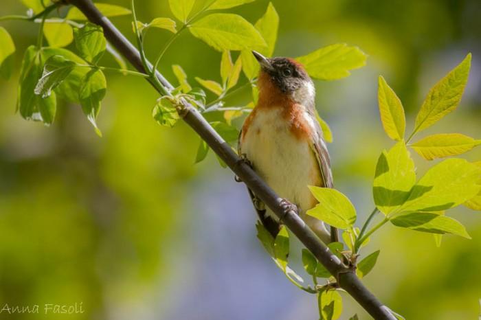 May0413 Bay-breasted Warbler-1