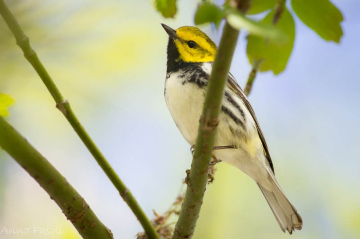 May0413 Black-throated Green Warbler-1