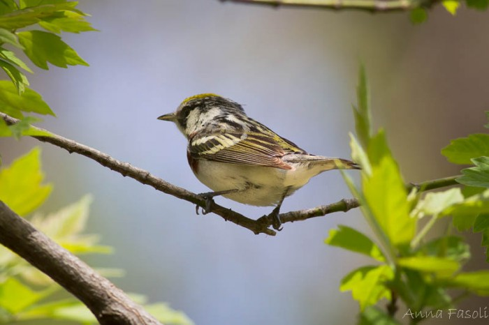 May0413 Chestnut-sided Warbler-1