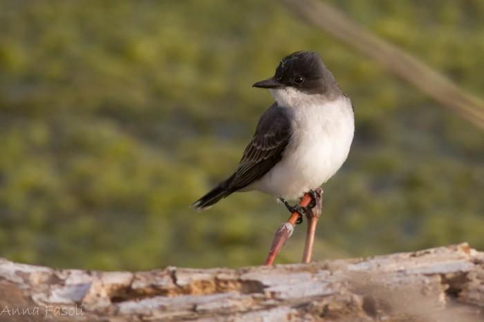 May0413 Eastern Kingbird-1