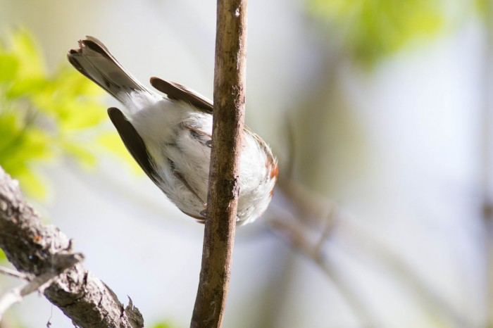"Warblers that are ""too close"" is an unusual problem to have, and often ends up in numerous butt shots. Can you ID this warbler behind??? If so, leave your guess in the comments!"