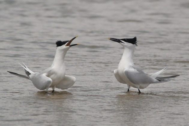 A pair of Sandwich Terns displaying to each other. (Photo by Alex Lamoreaux)
