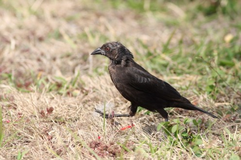 Bronzed Cowbird - Female (Photo by Alex Lamoreaux, March 2013)