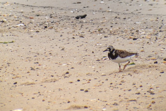 Ruddy Turnstone at Cape Henlopen State Park, Delaware on 29 July 2013. iPhone photo by Tim Schreckengost.
