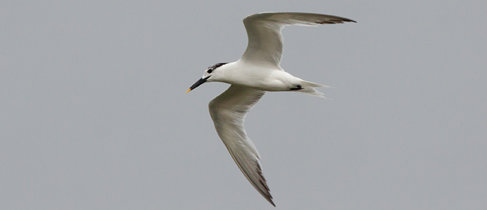 Sandwich Terns were quite common along the Outer Banks Photo by Mike Lanzone