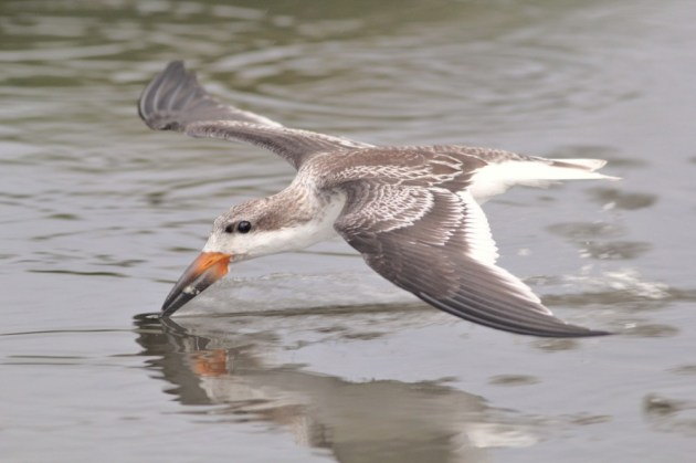 Juvenile Black Skimmer Photo by Alex Lamoreaux