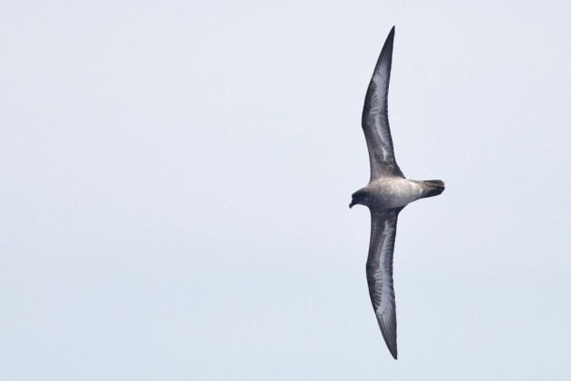 "Herald 'Trindade"" Petrel (intermediate type) arcing behind the boat on our second day out. (Photo by Alex Lamoreaux)"