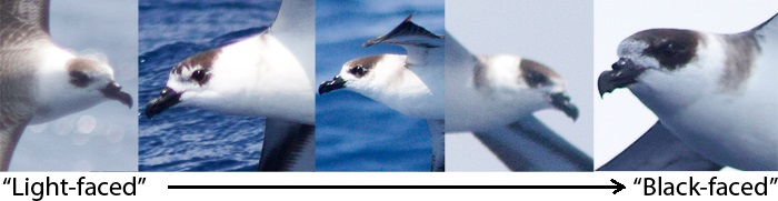 "On this trip we had some birds from one extreme to the other of ""light-faced"" and ""black-faced"" birds. Brian Patteson has noted in the fall ratio is about 1:3 between light-faced and black/dark-faced birds. On these photos note the amount of dark around the eye and extent of breast band on the neck, and the width of the white collar on the neck on each bird going from left to right. (Photos by Mike Lanzone)"