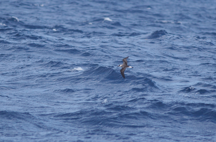 Distant Black-capped Petrels are fairly distinctive. In addition to being larger and stockier than other Atlantic petrels, they have a large white rump that you can see from a long distance.