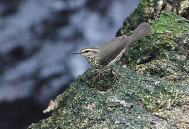 "Figure 3. Although Northern Waterthrushes breed as far west as Alaska, they are primarily an eastern migrant. Like many other ""eastern"" warblers, this species is regular on the Farallones in autumn."