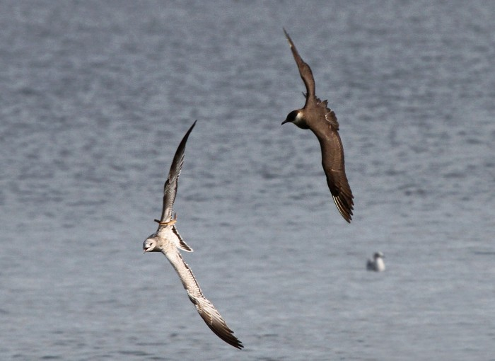 Here is a Parasitic Jaeger chasing a Ring-billed Gull, with a cattail reed wrapped along the gull's wing