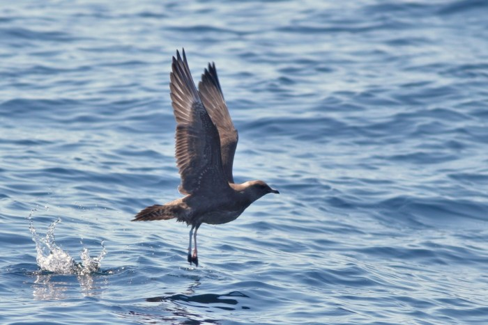 Long-tailed Jaeger - juvenile taking off (Photo by Alex Lamoreaux)