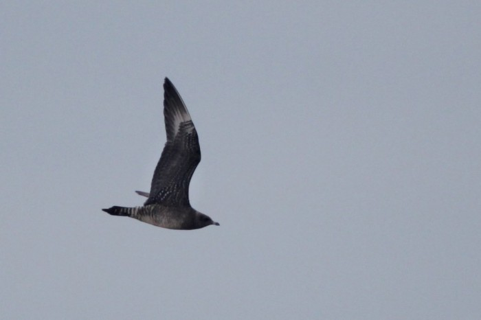 Long-tailed Jaeger - juvenile flying along the beach (Photo by Alex Lamoreaux)