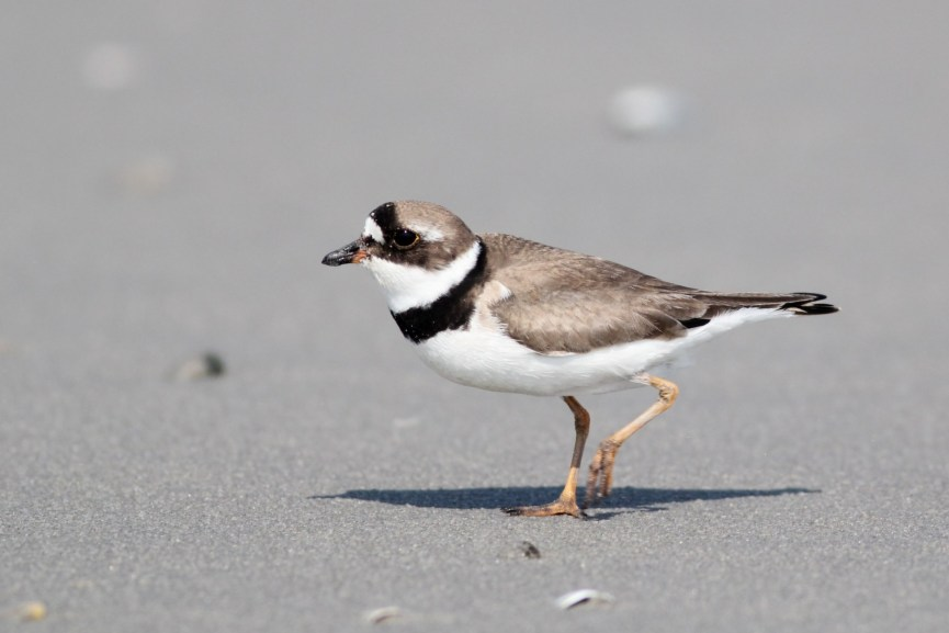 Semipalmated Plover foraging (Photo by Alex Lamoreaux)