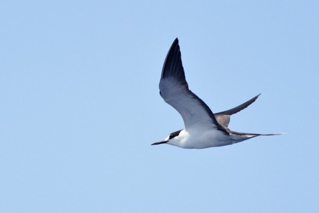 An adult Sooty Tern flying close past the boat on our first day out. This species breeds in the tropics and wanders north over the ocean during the late summer. (Photo by Alex Lamoreaux)