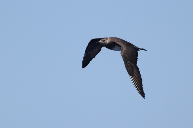 First year Long-tailed Jaeger, ~28 miles ESE off Hatteras, NC (Photo by Alex Lamoreaux)