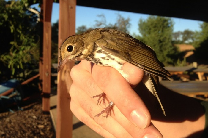 Ovenbird - adult (Photo by Alex Lamoreaux)