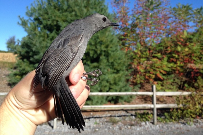 After yesterday, we have captured 102 Gray Catbirds so far this season. (Photo by Alex Lamoreaux)