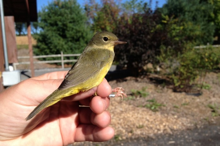 Mourning Warbler - juvenile female (Photo by Alex Lamoreaux)