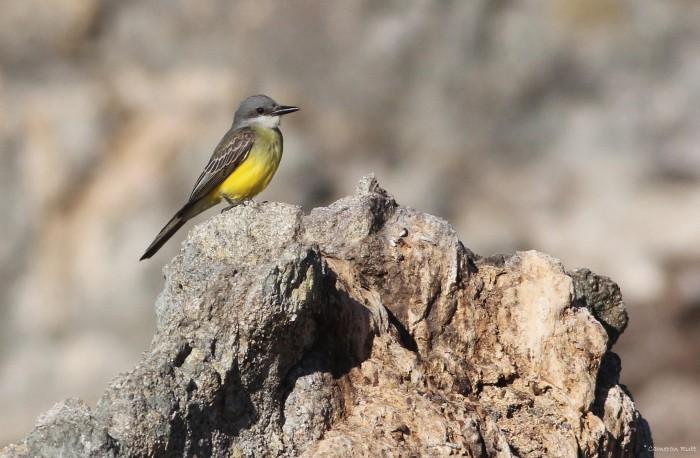 Figure 5. Tropical Kingbird